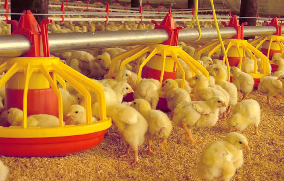 como incubar huevos